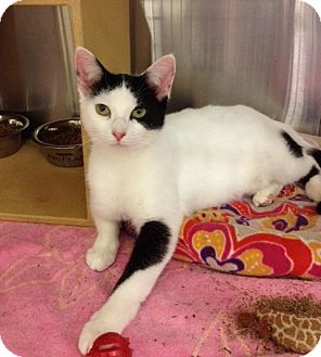 Domestic Shorthair Cat for adoption in Byron Center, Michigan - Janessa
