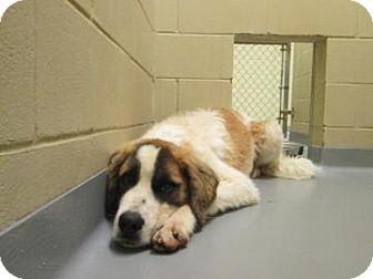St. Bernard Mix Dog for adoption in Columbus, Georgia - Cujo 020D
