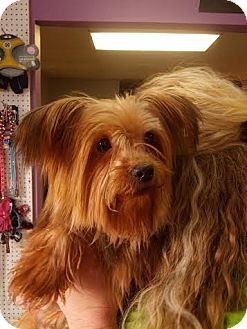 Yorkie, Yorkshire Terrier Dog for adoption in Urbana, Ohio - Puddles