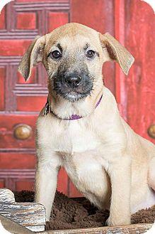 Terrier (Unknown Type, Medium)/Rhodesian Ridgeback Mix Puppy for adoption in McKinney, Texas - Joy
