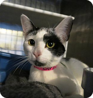 Domestic Shorthair Cat for adoption in Geneseo, Illinois - Clary