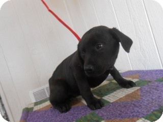 Labrador Retriever/Bluetick Coonhound Mix Puppy for adoption in East Hartford, Connecticut - Gus-pending adoption