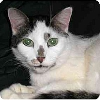 Adopt A Pet :: Lady Molly - Lombard, IL