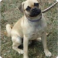Adopt A Pet :: Ace - Allentown, PA