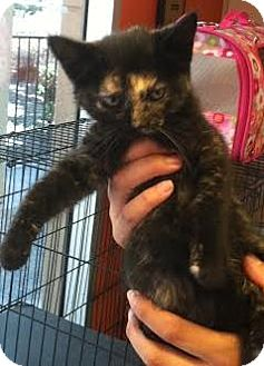 Domestic Shorthair Kitten for adoption in Westminster, California - Lucy