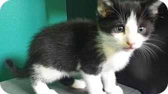 Domestic Shorthair Kitten for adoption in Columbus, Ohio - Dumbledore