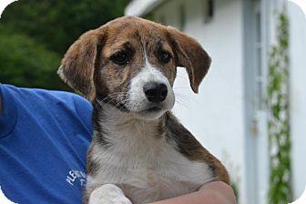 Labrador Retriever/Anatolian Shepherd Mix Puppy for adoption in Broadway, New Jersey - Meadow