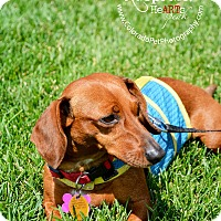 Adopt A Pet :: Snickers - Louisville, CO