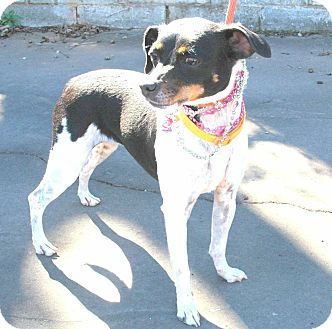 Rat Terrier/Chihuahua Mix Dog for adoption in Media, Pennsylvania - BETSY