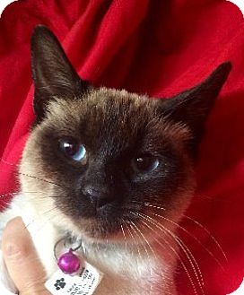 Siamese Cat for adoption in San Diego, California - CHELSEA