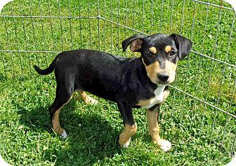 Corgi/Feist Mix Puppy for adoption in Liberty Center, Ohio - Bacon
