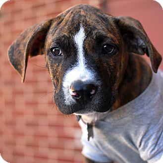 Labrador Retriever/Terrier (Unknown Type, Medium) Mix Puppy for adoption in Detroit, Michigan - Hudson-Adopted!