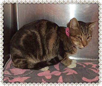 Domestic Shorthair Cat for adoption in Marietta, Georgia - WANDA