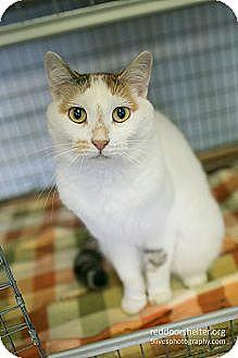 Calico Cat for adoption in Chicago, Illinois - Lark
