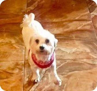 Maltese Dog for adoption in Naples, Florida - Peace
