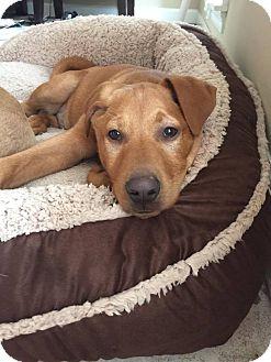Labrador Retriever Mix Puppy for adoption in Hagerstown, Maryland - Sven
