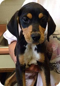 Hound (Unknown Type) Mix Puppy for adoption in Lima, Pennsylvania - Scout