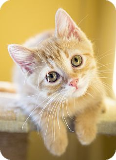 Domestic Shorthair Kitten for adoption in Chicago, Illinois - Tyrion