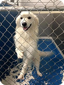 Great Pyrenees Mix Dog for adoption in Newburgh, Indiana - Shirley