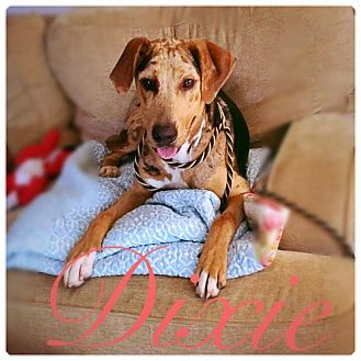 Catahoula Leopard Dog Mix Dog for adoption in Greensboro, North Carolina - DIXIE
