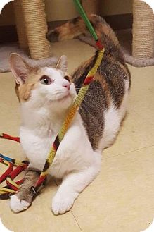 Calico Cat for adoption in Breinigsville, Pennsylvania - Rosalie