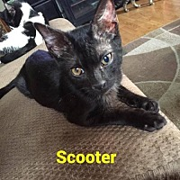 Domestic Shorthair Kitten for adoption in Evansville, Indiana - Scooter