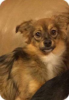 Papillon/Pomeranian Mix Puppy for adoption in West Warwick, Rhode Island - PUMPKIN in Rhode Island