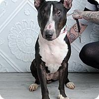 Bull Terrier Dog for adoption in Denver, Colorado - Ram-Jam