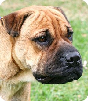 Boxer/Hound (Unknown Type) Mix Dog for adoption in Santa Fe, Texas - Miss Margo/pending