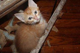 Domestic Shorthair Kitten for adoption in Jackson, Mississippi - Rigby