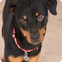 Rottweiler Mix Dog for adoption in Alpharetta, Georgia - Novacy