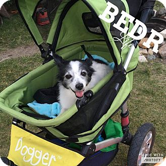 Papillon Mix Dog for adoption in Regina, Saskatchewan - Piper