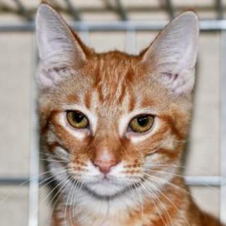 Domestic Shorthair/Domestic Shorthair Mix Cat for adoption in Tilton, Illinois - Alan