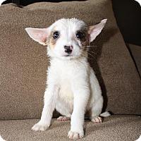 Adopt A Pet :: POSSUM THE PUPPY - Glendale, AZ