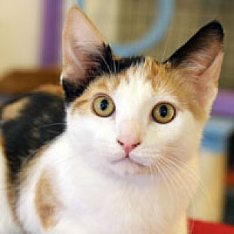 Domestic Shorthair Kitten for adoption in Pacific Grove, California - Penelope