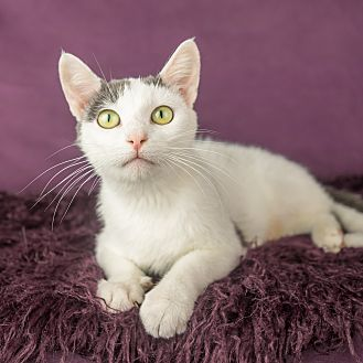 Domestic Shorthair Cat for adoption in Columbia, Illinois - Kit