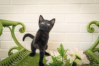 Domestic Shorthair Kitten for adoption in Murfreesboro, North Carolina - Nadia