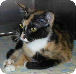Calico Cat for adoption in North Highlands, California - April