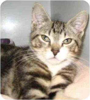 Domestic Shorthair Kitten for adoption in West Warwick, Rhode Island - Anthony