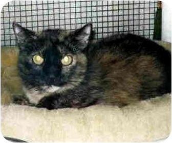 Domestic Shorthair Cat for adoption in San Clemente, California - MICHELLE