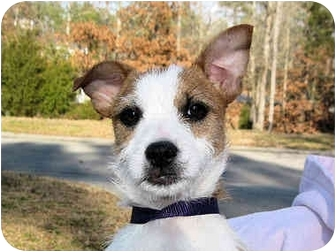 Fox Terrier (Wirehaired) Mix Puppy for adoption in Mahwah, New Jersey - Dale