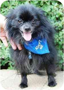 Pomeranian Dog for adoption in Osseo, Minnesota - Tommy
