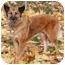 Photo 3 - Belgian Malinois/Australian Shepherd Mix Dog for adoption in levittown, New York - Dixie