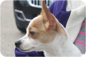Chihuahua Mix Dog for adoption in Osceola, Arkansas - Tinky