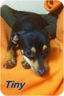 Miniature Pinscher/Chihuahua Mix Dog for adoption in Davie, Florida - Tiny