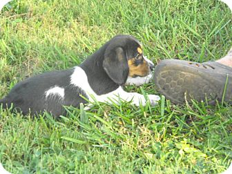Beagle/Basset Hound Mix Puppy for adoption in Wilminton, Delaware - Clyde