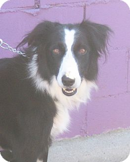 Border Collie Dog for adoption in San Pedro, California - WINSLOW