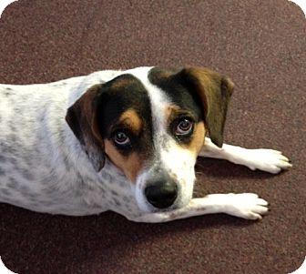 Beagle/Cattle Dog Mix Dog for adoption in Indianapolis, Indiana - Hershey