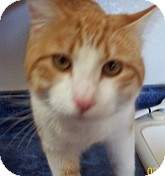 Domestic Shorthair Cat for adoption in Silver City, New Mexico - Clover