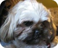 Shih Tzu Mix Dog for adoption in Okotoks, Alberta - Riley